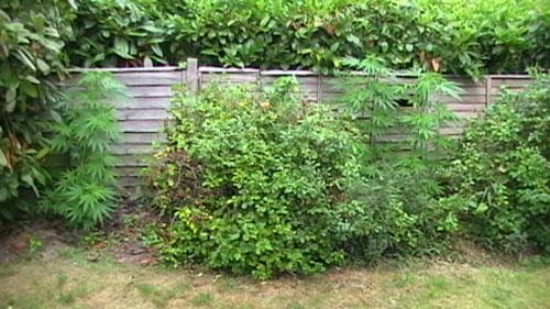 Guerilla growing in the uk pick a spot • soft secrets.